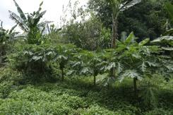 Buro-Buro Farm (181)