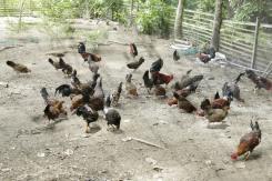 Buro-Buro Farm (266)